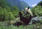 A panda in the wild