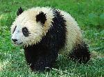 Cute Little wet Tai Shan