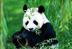 A beautiful Panda