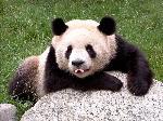 A cute panda