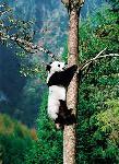Panda_climbing_a_tree