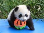 Panda_playing_a_ball