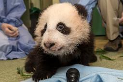 San Diego Zoo's Newest Panda Cub Named Xiao Liwu (Little Gift)