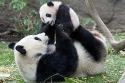 San Diego Zoo's resident giant panda cub Yun Zi frolic with his mother Bai Yun