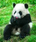 Panda loves Flower