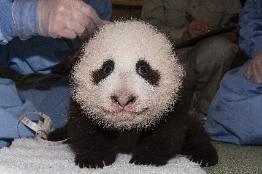 Xiao Liwu is the sixth cub born to panda Bai Yun.