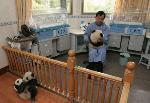 Wolong_Staff_Wei_Ge_tending_baby_panda