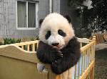 baby_panda_in_a_crib